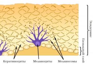 melanociti